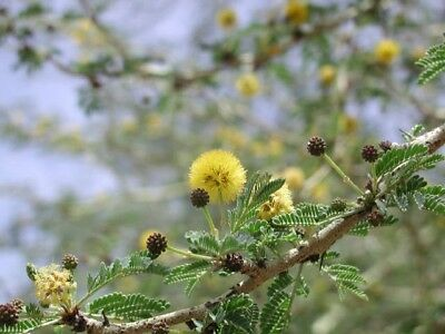 Rare and Unusual Fever Thorn - Fresh Seeds