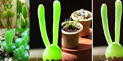 Free Post Australia Bunny Ear Succulent Plant Seeds Bright Green Great For Kids