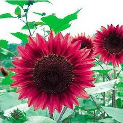 FREE POST AUSTRALIA Red Sunflower Seeds Exotic and Rare Garden Plant Seed