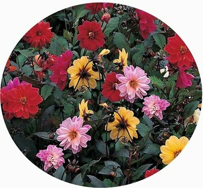 DAHLIA variabilis RED SKIN MIXED 50 Seeds double FLOWERS bronze red foliage
