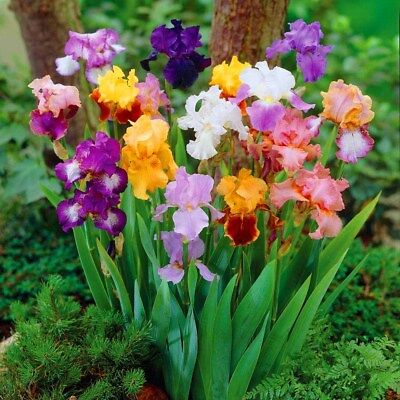 Free Post Australia Mixed Colours Iris Seeds Purple Red Blue Yellow Butterfly