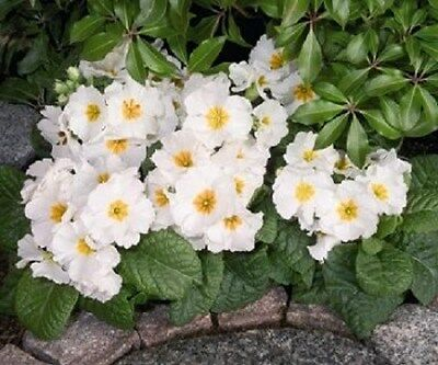 Pink Primrose Perennial Flower Seeds 15 Primula Scented