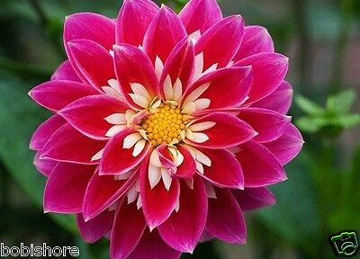 DAHLIA DINNER PLATE Mixed Seeds Exotic Heirloom Garden Plant Seed Lilac, Pink