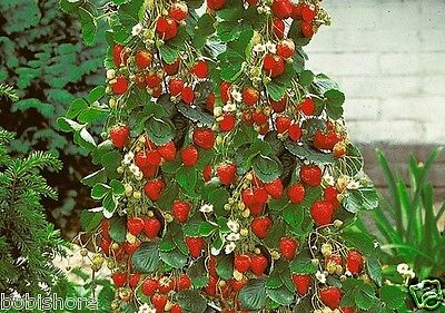 Free Post Australia Rambling Climbing Red Strawberry Seeds Rare Heirloom Seed