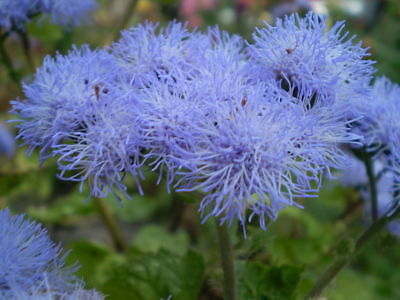 AGERATUM Market Growers Blue 100 SEEDS  scented annual border plant