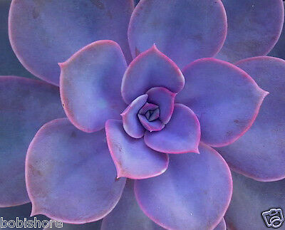 Free Post Succulent Plant Seeds Purple Pearl Echeveria, Green Bunny Ears Seed