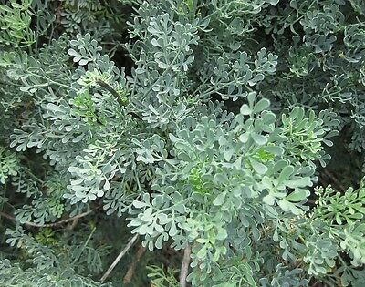 RUE ruta graveolens 50 Seeds HERB insect repellent GREAT FOR ROCK GARDENS