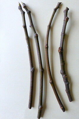 4  FIG CUTTINGS, 'WHITE TEXAS EVERBEARING'  FIG
