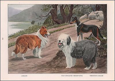Rough & Smooth Collie, Old English Sheep Dog by Fuertes, vintage print 1919