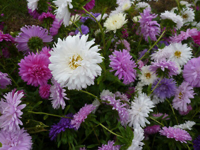 ASTER CREGO callistephus chinensis GIANT MIX 50 Seeds LARGE DOUBLE BLOOMS