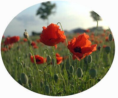 poppy FLANDERS RED papaver rhoeas 3000 SEEDS remembrance CORN POPPY