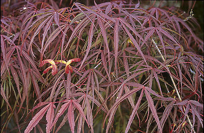 JAPANESE MAPLE, 121 SEEDS, 6  DIFFERENT KINDS PACKED SEPARATELY. GOOD FOR BONSAI