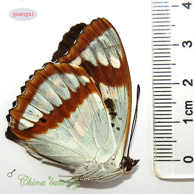 unmounted butterfly nymphalidae Mimathyma chevana guangxi A1-