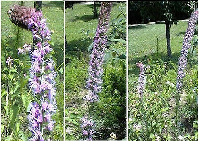 Pink Liatris or BLAZING STAR OVER 100 SEEDS  PERENNIAL FLOWER