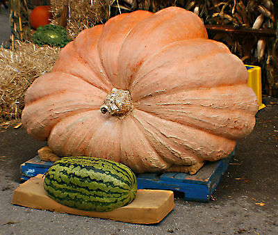 Pumpkin Atlantic Giant Seeds by Zellajake Many Sizes World Record Dill/'s 328C