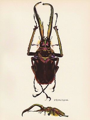 Antique BEETLE Print Vintage STAG Beetle Art Gallery Wall Art Insect Print 413