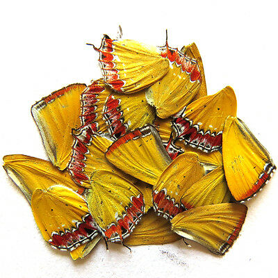 20 pcs REAL BUTTERFLY wing jewelry butterfly material ooak fairy DIY artwork #36
