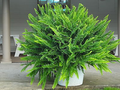 Kimberly Queen Fern - 10 Plants - Boston Fern Look a Like for SUN or SHADE