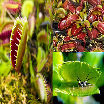 Lots Venus Fly Trap Carnivorous Plant 40 pcs/bag Seeds with Care Instructions