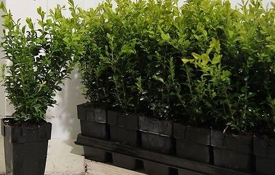 100X Bushy Buxus Box Hedging Plants - Evergreen - High Quality P9 Potted