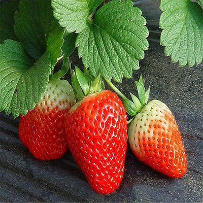 Lots Red 200pcs Climbing Strawberry Seeds Fruit Vegetables Plants Seed Garden