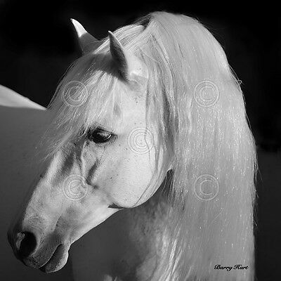 HORSE ART PRINT Shameless by Barry Hart Wildlife White Mane Cowboy Poster 13x19