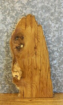 Very Rustic Live Edge White Oak Taxidermy Mount/Craftwood Slab 238