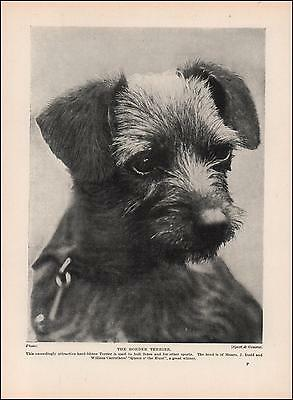 BORDER TERRIER DOG, Queen o' the Hunt, vintage print, authentic 1935