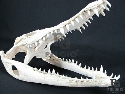 """PELGIO Real Freshwater Crocodile Skull Taxidermy Head 21"""" with CITES Free Ship"""
