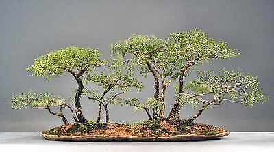 Quick and Easy Indoor Bonsai Trees From Seed - Acacia