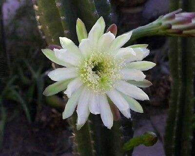 Queen of the Night Cactus - Fresh Seed Mixture