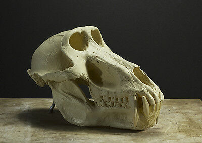 BABOON SKULL  (MALE) Hight Quality Replica