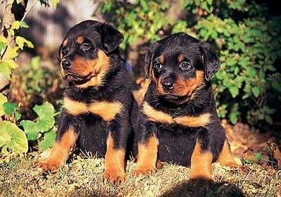 Rottweiler Puppies  300 Piece Puzzle