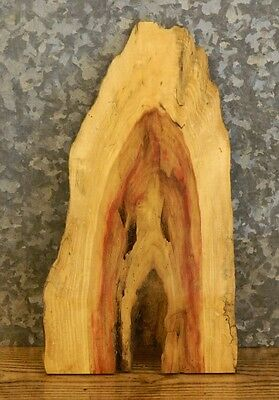 Very Rustic Live Edge Boxelder Taxidermy Mount/Craftwood Slab 13629