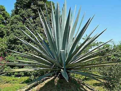 Agave tequiliana - The Tequila or Blue Agave - Fresh Seed
