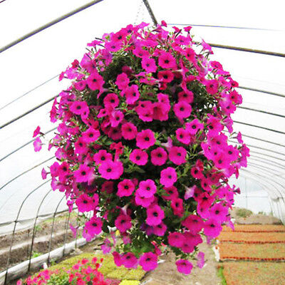 50Pcs Trailing Petunia Seeds Hanging Petunia Hybrida Flowers Home Garden Decor