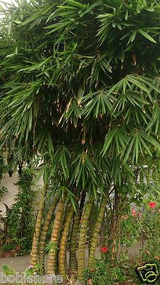 FREE POST BUDDAHS BELLY BAMBOO SEEDS - Bamboo Plant Seed