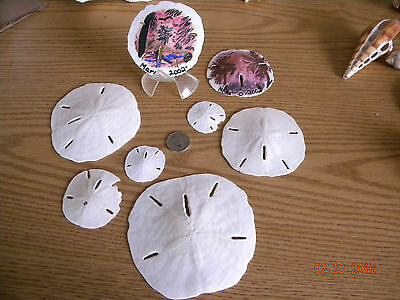 """8 Sand Dollars Shells: Ranging from 1.75"""" to 4.5"""" Across - 2 w/ 2002 Marco Art"""