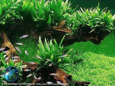 Phili Fern-Freshwater Tropical Aquarium Fish Tank Plant