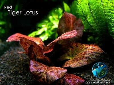 Red Tiger Lotus-Fish Pond Tropical Water Lily plant