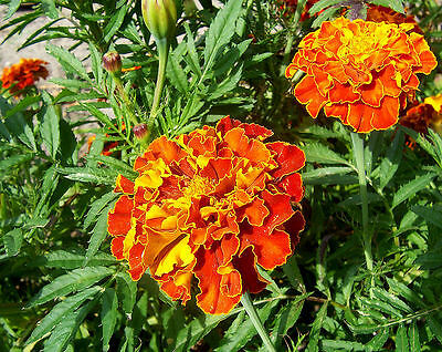 Tagetes patula 'Sparky' - French Marigold - Seeds