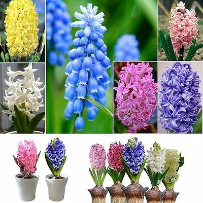 300pcs/lot Mixed Color Hyacinthus Orientalis Seeds Home Garden Decor Plant Seed