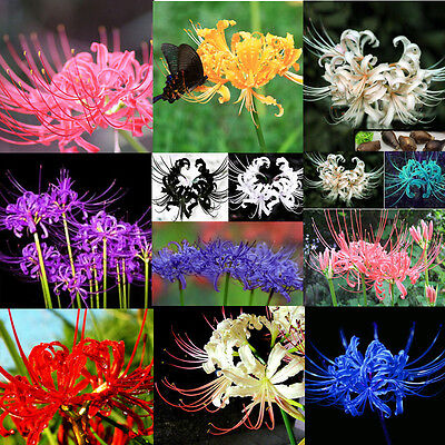 5 Mixed Bulbs Lycoris Radiata Spider lily Lycoris Bulb Seeds Garden Flower Decor