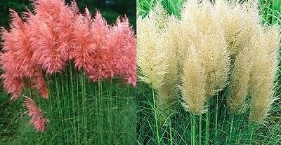 2X Mixed Large Cortaderia Pampas Grass Plants - 1 Pink & 1 White - 2L