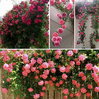 100x Rose Flower Seeds Home Plant Multi-Color Easy to Plant Ideal Garden Present