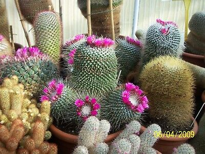 Mammillaria mixed species - Pincushion Cactus - 25 Fresh Seeds