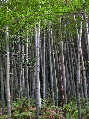 Phyllostachys edulis - Moso Bamboo - 10 Fresh Seeds