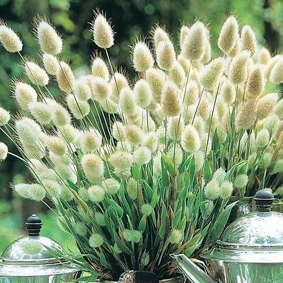 Ornamental Grass Seeds - BUNNY TAILS - Drought Tolerant -Easy to Grow - 20 Seeds