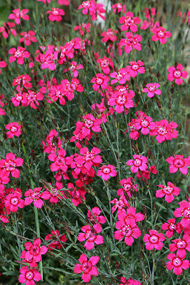 Maiden Pink Seeds - Great Border Perennial - Tiny Pink Flowers - 25 Seeds
