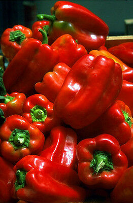 Sweet Bell Pepper Seeds - SCARLET KING - Cottage Garden Heirloom - 20+ Seeds
